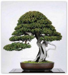 JPB:Bonsai Collection 10   Taxus Cuspidata   Flickr - Photo Sharing!