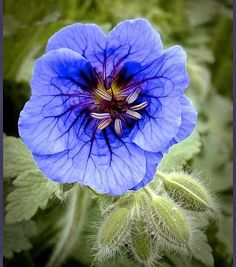 Blue Geranium: Hardy geraniums are tough, easy growers that flower for months at a time. A favourite is the Ann Folkard specimen with its magenta flowers; multitasking as both climber and ground cover. At its best: flowers from midsummer to mid-autumn. Likes: part shade or full sun Soil: all soil types