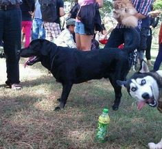 Husky Photobomb. Nailed it.
