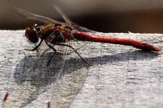 #macro #dragonfly