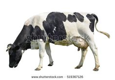 Cow, Head - Free images on Pixabay