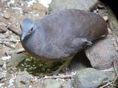 16A-Crypturellus soui modestus (Little Tinamou , Bosque del Rio Tigre)