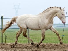 Kinsky Horse stallion Baron. oh my goodness...the  nuance of colour on this fella!
