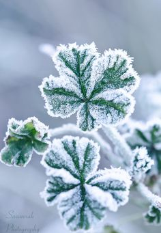 Frosty....
