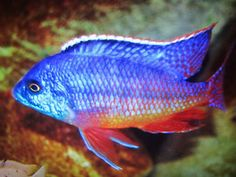 4 X 5-6 CM PROTOMELAS RED EMPRESS NAMALENGE ISLAND . MALAWI CICHLIDS, RARE at Aquarist Classifieds