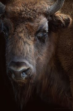 Bison - don't ever get this close...