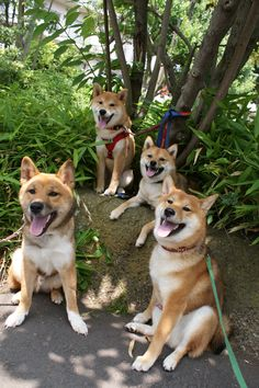 All shiba inu! and not growling at each other!!