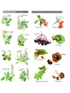 Aperçu du fichier Petit Atlas Des Plantes Comestibles PDF.pdf Edible Wild Plants, Botany, Horticulture, Flora, Survival, Food And Drink, Fruit, Green, Nature