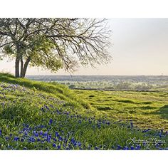 "11x14 Photo - ""Bluebonnet Vista"" by TravLin Photography - Texas Bluebonnets Photo"