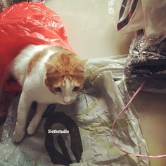 kaypoh Ginger playing with big plastic bag while we are busy packing T-shirts 😂😅  www.facebook.com/Slothstudio