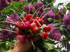 Посев редиса в теплице ,советы огородникам.