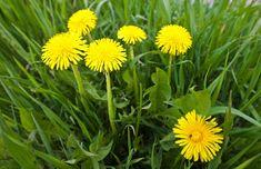 Ve žlutých květech pampelišky je ukryta síla samotného slunce: Zdravotní účinky na tělo jsou ohromné – takto si ji připravíte Dandelion Coffee, Dandelion Leaves, Dandelion Yellow, Dandelion Flower, Bright Flowers, Yellow Flowers, Instead Of Flowers, All About Plants, Flower Meanings
