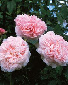 Claire Rose ®(Auslight) is a medium pink, neatly cupped large flower which opens into a pretty rosette of blush pink. It is a strong, healthy plant with long stems perfect for cut flowers. Beautiful Rose Flowers, Love Rose, Large Flowers, Cut Flowers, David Austin Roses, Claire Austin, English Garden Design, Planting Roses, Flower Gardening