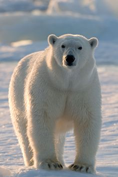 "Today is International Polar Bear Day! Did you know that their scientific name, Ursus maritimus, means ""sea bear""? Bear Photos, Bear Pictures, Animal Pictures, Arctic Animals, Animals And Pets, Cute Animals, Wild Animals, Baby Animals, Baby Pandas"