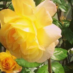 Gule roser dufter helt fantastisk