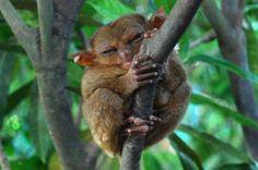 tarsier monkey <3
