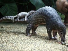 Pangolins, The 'Artichoke With Legs,' Earn Top Trade Protection : The Two-Way : NPR