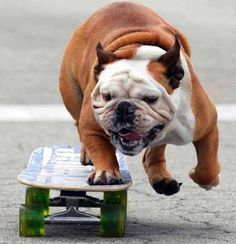 PetsLady's Pick: Funny Skateboarding Dog Of The Day  ... see more at PetsLady.com ... The FUN site for Animal Lovers