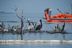 Judge Approves $20 Billion Settlement For Deepwater Horizon   Audubon