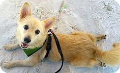 Ft Myers Beach, FL - Chihuahua/Pomeranian Mix. Meet Love from Pancho!!!, a dog for adoption. http://www.adoptapet.com/pet/15976854-ft-myers-beach-florida-chihuahua-mix