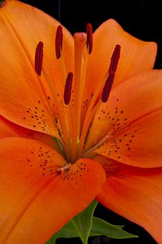 I love the deep jeweled orange color of Tiger Lilies! Reminds me of the rich colors of autumn.