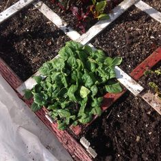Winter spinach-square foot gardening style   The Wealthy Earth