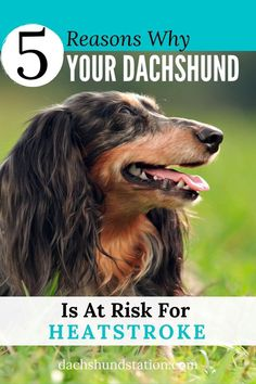 Summer Dog, Summer Heat, Dachshund Puppies, Dachshunds, Doggies, Summer Safety Tips, Flat Faced Dogs, Frozen Dog, Dog Health Tips