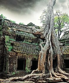 A jungle tree covers the stones of the temple of Ta Prohm in Angkor Wat in Siem Reap, Cambodia