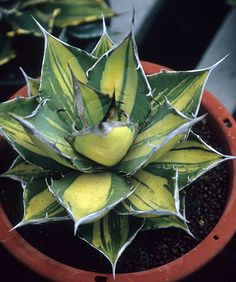 Agave titanota with yellow center