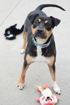 ATTENTION!!! SEIZED FOR CRUELTY, ADOPTED & RETURNED – ROXY aka BART (A1045013) 18 months old SPAYED baby girl who was adopted after being seized for cruelty, and now returned to Brooklyn Center due to PERSONAL PROBLEMS. She is incredibly sweet, wiggly & affectionate young girl. ♥ HELP ROXY TO START ALL OVER AGAIN WITH A NEW FAMILY ♥ http://nycdogs.urgentpodr.org/bart-a1045013/