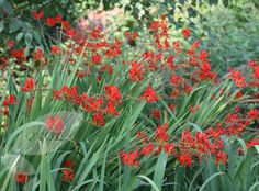 Crocosmia 'Lucifer'  Care information at about.com: http://video.about.com/gardening/Crocosmia-Care.htm