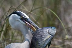 Great Blue Heron with Fish - Stunning Photos with Buy 1 Get 2 Free offer -  http://www.yoga-aid.com/art-photos/great-blue-heron-fish/