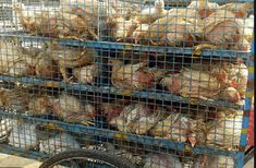 The Delhi High Court adjourned a public interest litigation filed seeking direction to ensure that no birds are slaughtered in and near Ghazipur poultry market. Delhi High Court, Bird Flu, Constitutional Law, Poultry, Public, Birds, Marketing, Backyard Chickens, Bird