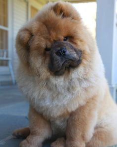 Martha Stewart's Chow Chow, Ghenghis Khan - best of breed at the 136th Westminster   Kennel Club Dog Show