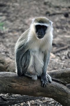 Vervet Monkey at Werribee Zoo Melbourne Australia by JanetGrima, via Flickr
