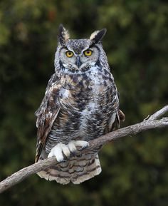 Great Horned Owl (Bubo virginianus). Photo by Ashley Hockenberry.  Location: Ontario, Canada
