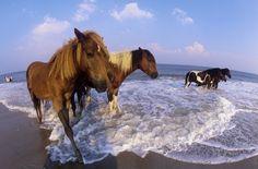 Explore Assateague  Wild horses everywhere....