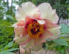 'Calypso' first bloomed in my garden in 2012.