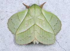 Neat moth