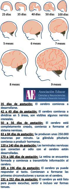 Ilustracion Neurociencias: Desarrollo cerebral del feto - Asociación Educar Ciencias y Neurociencias aplicadas al Desarrollo Humano  www.asociacioneducar.com