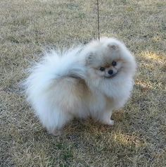 Delightful Comical And Sweet Pomeranian Ideas. Charming Comical And Sweet Pomeranian Ideas. Black Pug Puppies, Cute Puppies, Cute Dogs, Dogs And Puppies, Doggies, Yorkie Dogs, Pug Puppies For Adoption, Cute Baby Animals, Animals And Pets