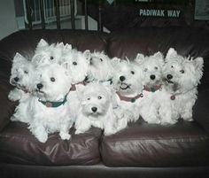 Nine Sweet Westies....    from a FB account