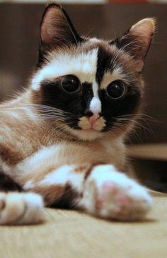 Cat (kitty, eyes, animal, beauty)