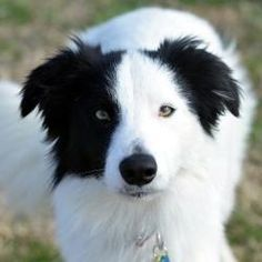 Patch is an adoptable Border Collie Dog in Garland, TX. PATCH is a ~2 year old male border collie that is just awesome. He is sweet and is very loyal to his people. He loves to run and play with other...