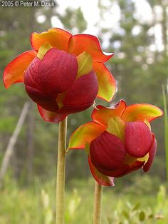 Sarracenia purpurea (Purple Pitcher Plant)