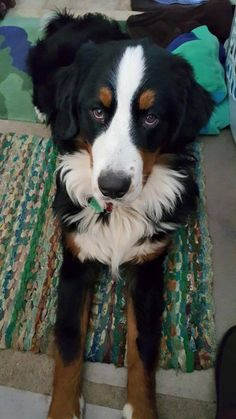 R>> Stamford, CT - Lost Black w/White & Tan Dog  Ocean Drive East  DO NOT CHASE. This is Duffy.  last seen at 5:15 pm, 12/22. He is a big black Bernese Mountain Dog, almost a year old. Not wearing dog tags.   Jeff: (203) 570-3693, Noreen: (203) 550-6805, or Brad: (203) 550-6801 https://www.facebook.com/CT.Lost.Pets/posts/798633966925147