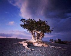 Long before any of us walked this Earth - and long after we're gone - the ancient trees will be here. You're looking at a Bristlecone Pine, at 4,767 years, one of the 10 oldest trees on the planet