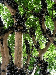 Jabuticaba – The Tree that Fruits on its Trunk (Otherwise known as the Brazilian Grape Tree, this plant is native to South America, notably Paraguay, Argentina and (obviously from its name) mostly from Brazil.  The fruit, a succulent looking purple color can be plucked and eaten straight from the tree.)
