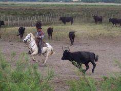 Manade taureaux et gardian en camargue Guide du tourisme du Gard Languedoc-Roussillon