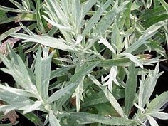 Artemisia ludoviciana 'Silver Queen' - herbaceous perennial, scented leaves, good for middle of the border